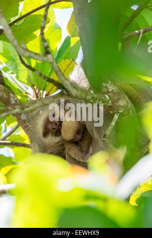Dos de Hoffmann, sloth Choloepus hoffmanni puntera y el bebé descansando en el árbol junto al Parque Nacional Manuel Antonio, cerca de Quepos,