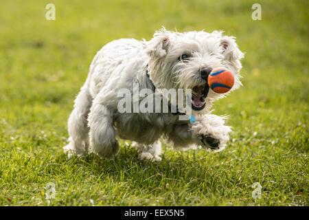 """West Highland White Terrier - Westie con balón - """"casi consiguió mamá!"""". Foto de stock"""