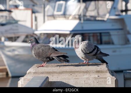 Palomas Rock también conocido como palomas, se yergue sobre una baranda en la marina, Percival Landing, en el centro de Olympia, WA.