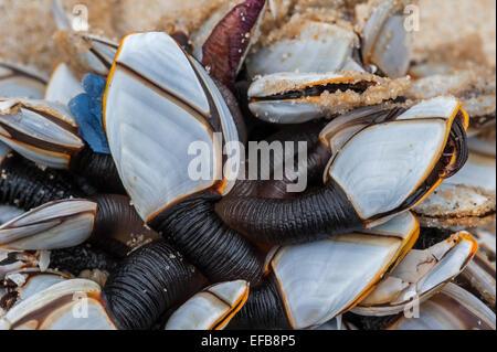Percebes común / pelágicos suave cuello de cisne de cuello de cisne / percebe percebes (Lepas anatifera) lavados en la playa