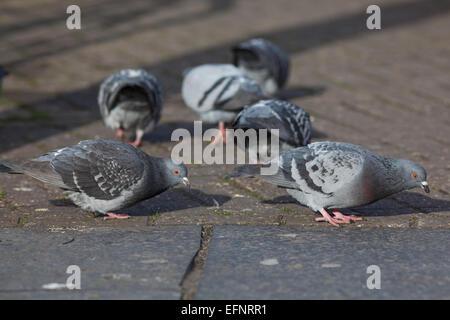 Feral palomas domésticas (Columba livia). Vive libremente las aves domesticadas, descendientes de los salvajes Paloma Roca.