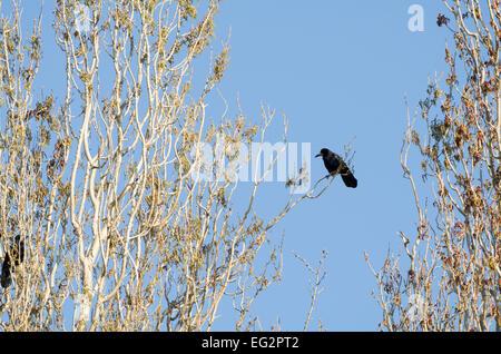 Carrion Crow sentado en la rama delante del cielo azul claro