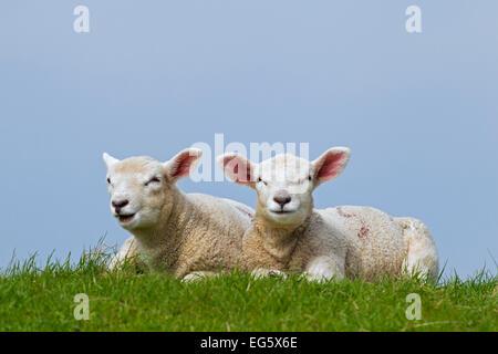 Ovejas domésticas (Ovis aries), dos corderos blancos tumbado en la pradera en primavera