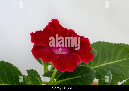 Rojo de gloxinia (Sinningia speciosa) flor cerrar