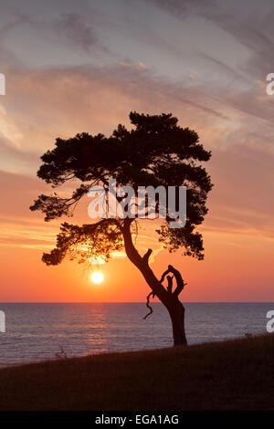 Pino silvestre (Pinus sylvestris), a lo largo de la costa de árbol solitario siluetas contra el amanecer sobre el mar