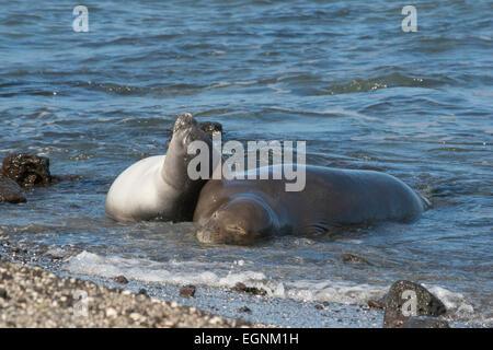 La foca monje hawaiana, Neomonachus schauinslandi, 8-9 a�s y 6 semana de edad Cachorro, Ka'u, la isla de Hawaii
