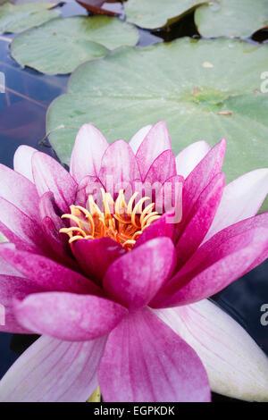 Lirio de agua, Nymphaea cultivar, Cerrar vista de uno rosa fucsia flor con estambres amarillos y deja atrás