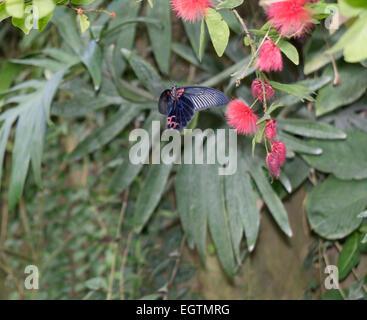 Butteryfly tropical en vuelo
