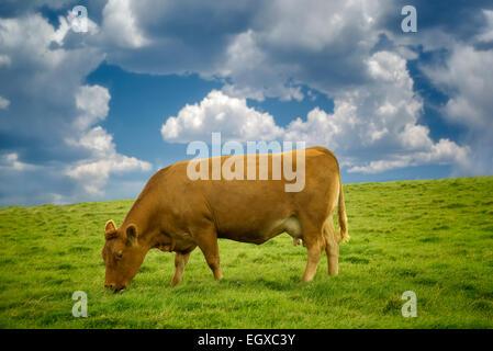 Las vacas que pastan en pastos. Irlanda.