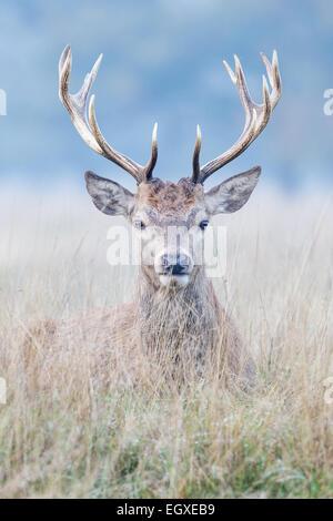 Ciervo rojo (Cervus elaphus) stag sentando en pradera Foto de stock