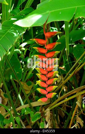 Planta de garra de langosta colgantes Komokila Villa Histórica de Wailua River Valley, Kauai, Hawaii, EE.UU. Foto de stock