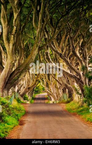 La oscuridad de setos. Beech Rural carretera arbolada en Irlanda.