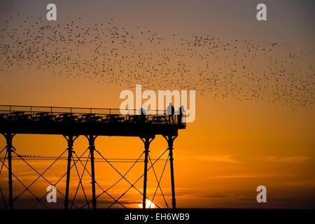 Aberystwyth, Gales, Reino Unido. 8 de marzo de 2015. El clima del REINO UNIDO: al final de una tarde de cielo azul claro y cálido sol de primavera, con la espectacular puesta de sol sobre la Bahía de Cardigan, 'murmurations' de miles de estorninos vuelan al atardecer para descansar durante la noche en la piernas de hierro fundido de la victoriana seaside pier en Aberystwyth en la costa oeste de Gales en el Reino Unido. Las noches de posarse en Aberystwyth es uno de sólo tres dormideros urbanos en el Reino Unido, y atrae a una multitud de curiosos y regular los fotógrafos cada noche. Crédito: Keith morris/Alamy Live News