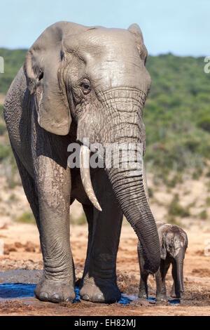 El elefante africano (Loxodonta africana) adulto y bebé, Parque Nacional Addo, Eastern Cape, Sudáfrica, África