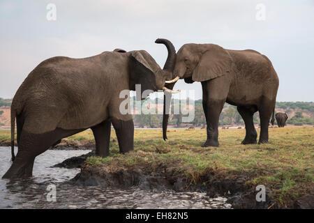El elefante africano (Loxodonta africana), el Parque Nacional Chobe, Botswana, África