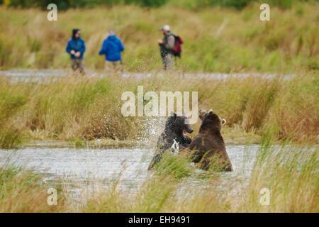 Coastal oso pardo (Ursus arctos) combatiendo mientras los pescadores stand, en las cercanías del Parque Nacional de Katmai, Alaska