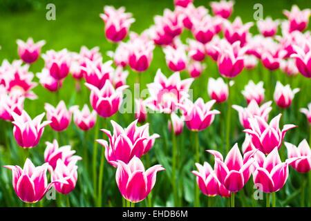 Hermosos tulipanes purpur contra la pasto verde Foto de stock