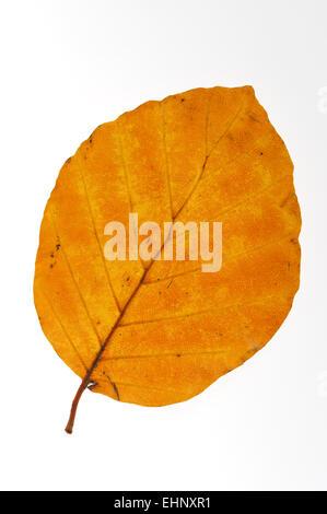 Beech / común europeo haya (Fagus sylvatica) hoja en otoño de colores con fondo blanco.