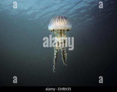Brújula - Medusa Chrysaora hyoscella