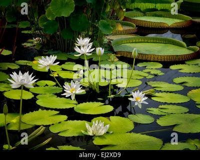 Waterlily en el estanque. Oregon