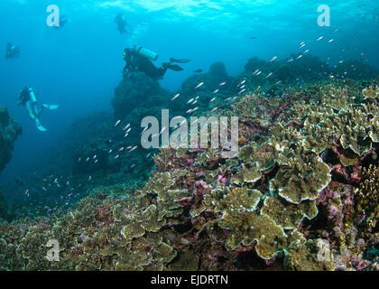 Los buzos nadar en arrecifes de coral duro (Montipora sp.). Islas Spratly, en el Mar del Sur de China.