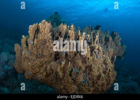 Colonias de coral duro Columnar (Montipora sp.) parece flotar sobre el suelo marino, con siluetas de los buceadores en las aguas azules del fondo.