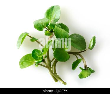 Las hojas del berro fresco ( Nasturtium acuáticos)