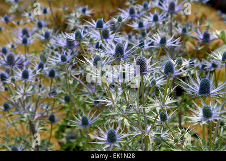 Eryngium × zabelii Eijking 'Jos' Mar / Holly