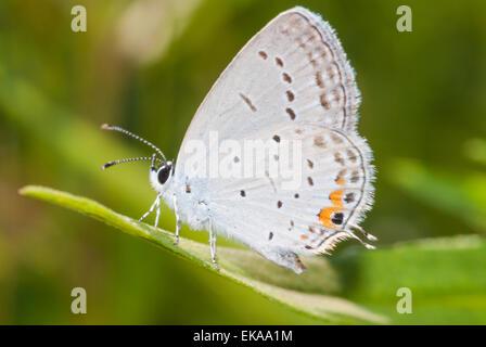Cola oriental mariposa azul, Everes comyntas, donde se posan en el extremo de una hoja en el Área de Conservación Foto de stock