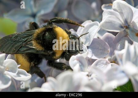 Polinización abejorros flores lila