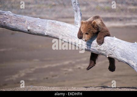 Cute Grizzly Bear Cub, muelle de Ursus arctos, colgando de una rama, el Parque Nacional Lake Clark, Alaska, EE.UU.