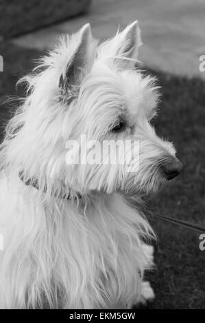 West Highland White Terrier (westie) perro Foto de stock