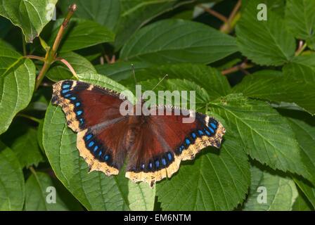 Manto de luto, Nymphalis antiopa de mariposas, encaramado en verano el follaje, Wagner Bog Zona Natural, Alberta Foto de stock