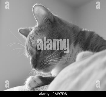 Blanco y negro a rayas de tigre curioso gato.