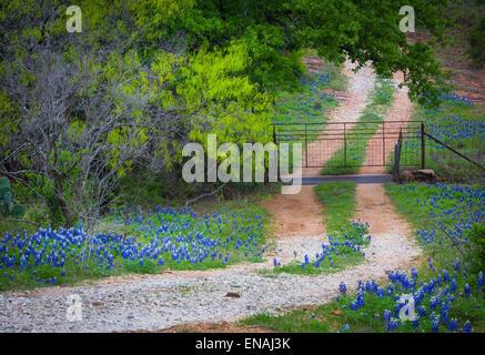 La pequeña carretera de grava líneas con bluebonnets, cerca de la ciudad de sauce en el Texas Hill Country
