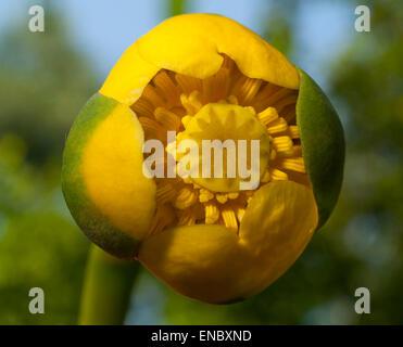 Flor amarillo lirios de agua (Nuphar lutea).El fondo es blanco.europa.Ucrania.El Río Psel.macro.