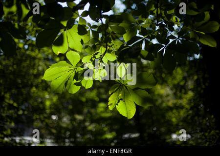 Sol a través de las hojas verdes de los árboles caducifolios Foto de stock