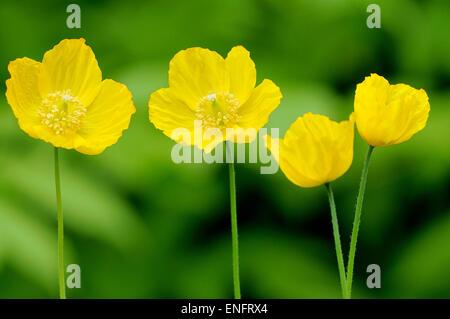 Islandia amarillo amapola (Papaver nudicaule), Renania del Norte-Westfalia, Alemania