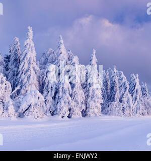 Paisaje invernal con nieve pinos al atardecer, Schauinsland, Selva Negra, Baden-Wurtemberg, Alemania