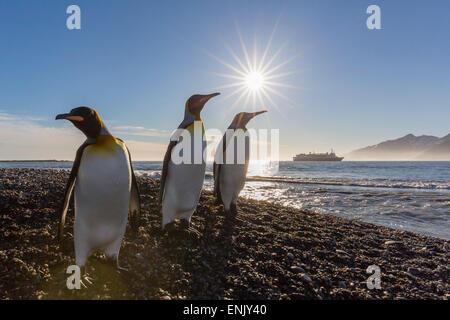 Pingüinos rey (Aptenodytes patagonicus) al amanecer, en Saint Andrews Bay, Georgia del Sur, las regiones polares