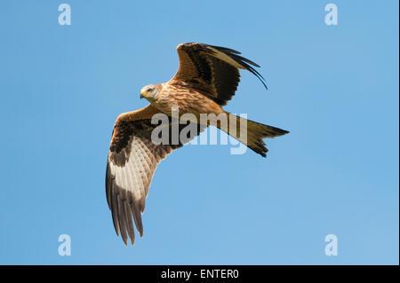 Milano real (Milvus milvus) volando en Dumfries y Galloway, Escocia, Reino Unido