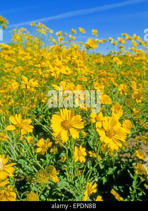 Un campo de camphorweed, o false, Heterotheca subaxillaris goldenaster, creciendo al lado de la autopista, cerca de la localidad de Chama, Nuevo México