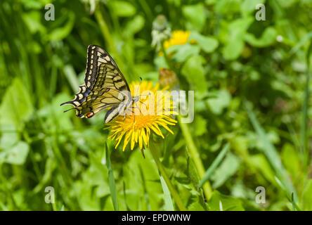 Especie del viejo mundo (Papilio machaon) butterfly chupar néctar de diente de león en la temporada de primavera