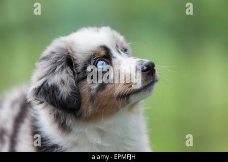Cachorros Pastor Australiano son ágiles, enérgico y maduran en valorados los perros pastores y leales compañeros que quieren agradar.
