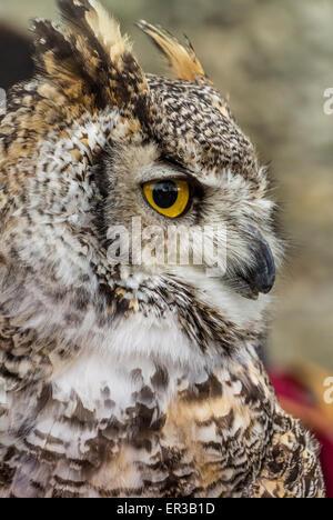 Owl tucuquere canadiense Foto de stock