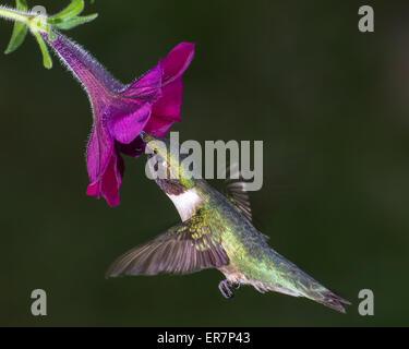 Rubí-throated hummingbird recogiendo el néctar de una flor. Foto de stock