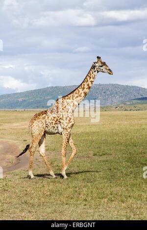 Jirafa (Giraffa camelopardalis) adulto caminando en el monte, en país desértico, Kenya, Africa.