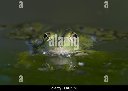 rana del agua
