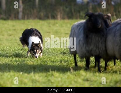 El pastoreo Border Collie