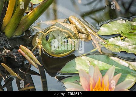 Lithobates catesbeianus American rana toro, Rana catesbeiana, o, en un estanque de lirios en el Estado de Nueva York, EE.UU.